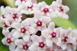 Die Hoya ist eine pflegeleichte und angenehm duftende Zimmerpflanze.