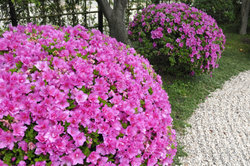 Gartenazaleen blühen im Frühling.