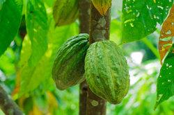 Kakaobohnen, die Grundlage für Kakao.