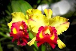Die Cattleya-Orchidee gibt es in vielen verschiedenen Farben.