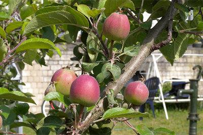 Vorfreude auf die Apfelernte