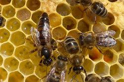 Bienenkönigin - die Mutter eines ganzen Staates