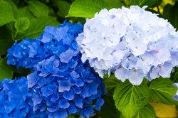 Gartenhortensien gibt es in vielen Blütenfarben.