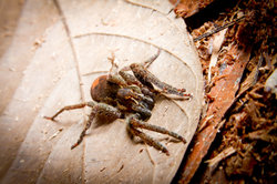 Kammspinnen gehören zu den gefährlichsten Spinnenarten.