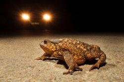 Erdkröten sind in ihrem Bestand gefährdet.