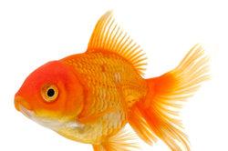 Die Goldfischvermehrung ist leicht umzusetzen.