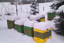 Wie lange lebt die Biene? - Winterbienen