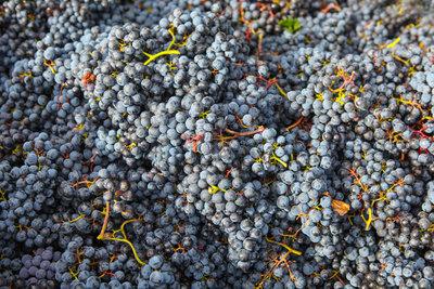 Weintrauben reagieren empfindlich auf Mehltau.