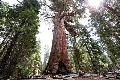 Der Mammutbaum gehört zu den größten Gewächsen der Welt.