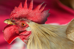 Hühner brauchen Artgenossen.