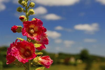 Die Stockmalve zählt mit ihren beeindruckenden Blüten zu den beliebtesten Arten