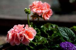 Viele Balkonpflanzen eignen sich für schattige Standorte.