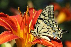 Der Schwalbenschwanz ist ein wunderschöner Schmetterling.