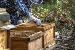 Erfahrene Imker züchten ihre Bienen.