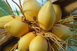 Frische Kokosnüsse enthalten viel Kokoswasser.