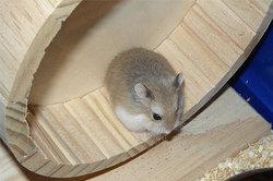 Roborowski-Zwerghamster - der kleinste Zwerghamster