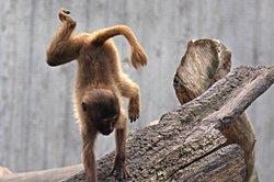 Basteln Sie eine Spardose als Affen.