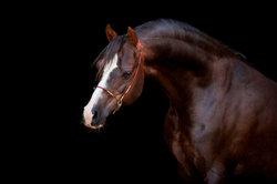 Der Araber zählt zu den elegantesten Pferderassen.
