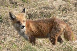 Junger Fuchs im zeitigen Frühjahr