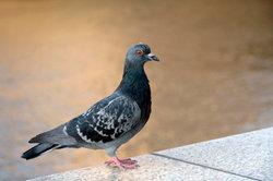 Tauben leiden häufig an Taubenmilbenbefall.