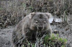 Der Wombat ist niedlich, aber nicht zum Kuscheln geeignet.