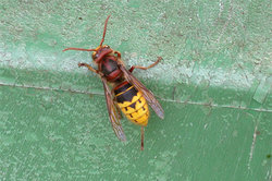 Hornisse - sie ist eine Wespe und keine Riesenbiene.