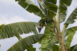 Bananen können sehr ausladend werden.