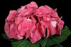Hortensien blühen bei richtiger Pflege lange.