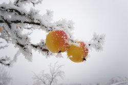 Der Apfelbaum kann auch bei frostigen Temperaturen draußen gehalten werden.