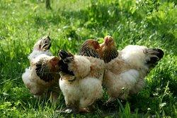 Das Sulmtaler Huhn ist relativ anspruchsvoll.