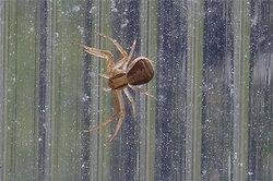 Filigrane Gliedmaßen: Spinne im Gewächshaus