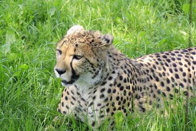 Kleiner Kopf mit Tränenstreifen - das ist ein Gepard.