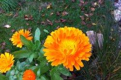 Die Wirkstoffe der Ringelblume pflegen rissige Haut.