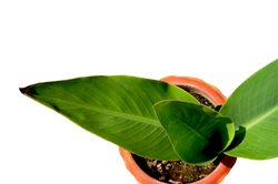 Zimmerpflanzen sollten regelmäßig mit Wasser versorgt werden.