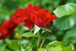 Spinnmilben an Rosen sind teilweise schwierig zu entfernen.