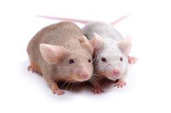 Mäuse fressen sehr gerne frische Futtermittel.