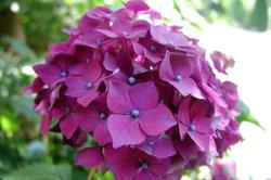 Hortsensien bilden schöne große Blüten aus.