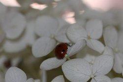 Ein Hingucker - die Freiland-Hortensie