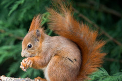 Im Futterhaus findet das Eichhörnchen leckere Nahrung.