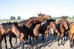Auf dem Pferdemarkt werden die Tiere kurz angebunden.