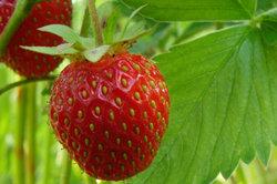 Es gibt große Unterschiede bei den Sorten von Erdbeeren.