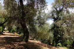 Ein Olivenhain eignet sich als Van-Gogh-Motiv.