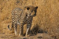 Die Ashera Katze stammt teils vom Leoparden ab.