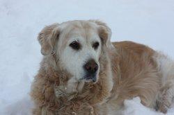Der Golden Retriever ist ein freundlicher Familienhund.