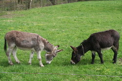 Esel leben in Herden und werden sehr alt.