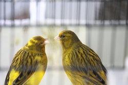 Auch Kanarienvögel brauchen einen Partner.