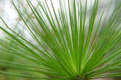 Der Papyrus zählt zu den Flachwasserpflanzen.