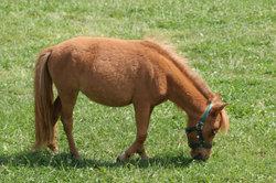 Mini-Pferde sind sehr zart und filigran gebaut.
