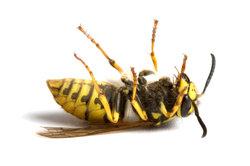 Ein Wespenstich kann mitunter lebensgefährlich sein.