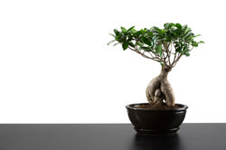 Der kleinwüchsige Ficus ist eine durchaus attraktive Zimmerpflanze.